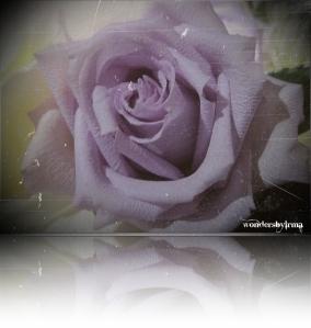 lavender rose 1-1