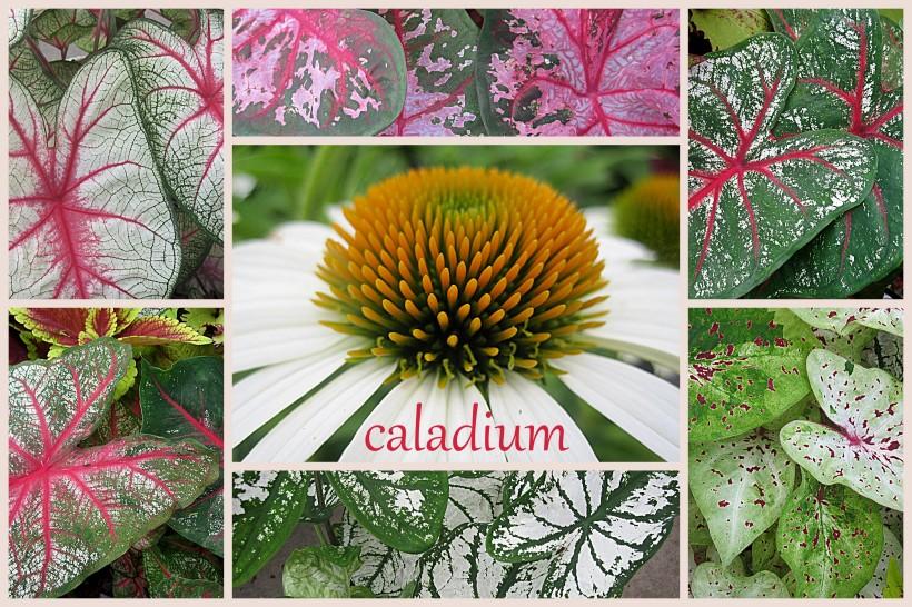 2013-07-15 caladium