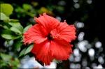 kiiinanruusu-hibiscus