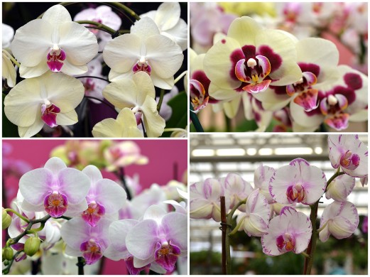 white orchids with pink