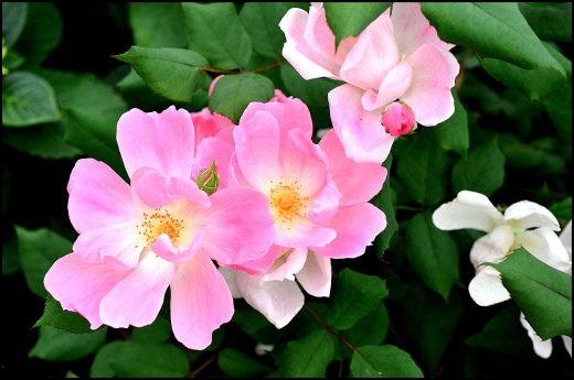 pink knock out rose