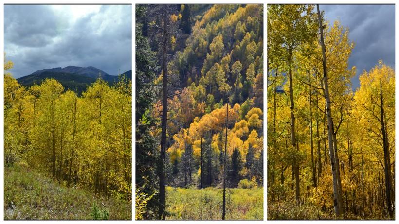 three aspen trees
